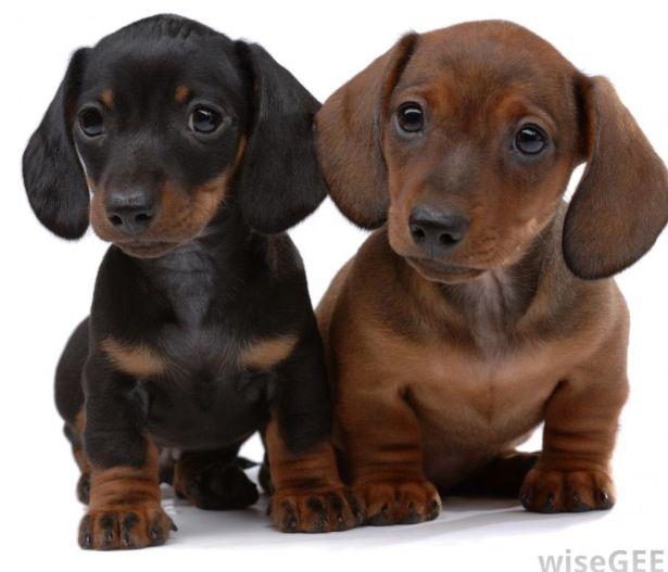 Miniature dachshund I've got a spaniel t these r just so cute