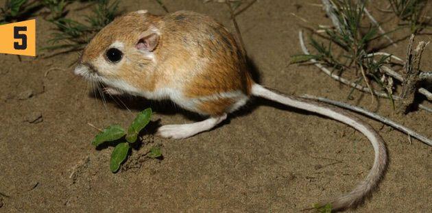Rata canguro http://algarabianinos.com/explora/top-10-animales-saltarines/