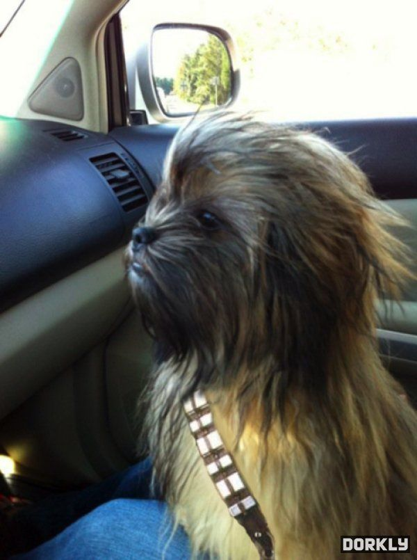 mini chewbacca - Natalie, this is the only dog I will consent to owning