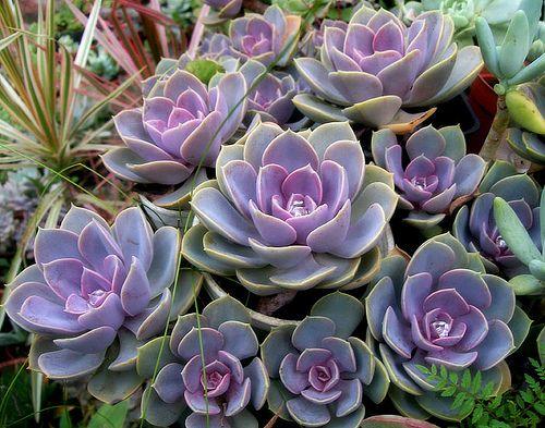 Succulent - Echeverias