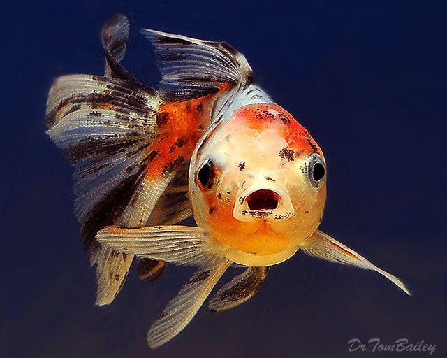 Calico Oranda Goldfish, Featured item. #calico #oranda #goldfish #fish #petfish #aquarium #aquariums #freshwater #freshwaterfish #featureditem