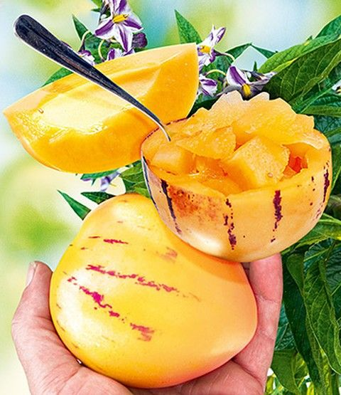 Melonenbirne 'Sugar Gold'