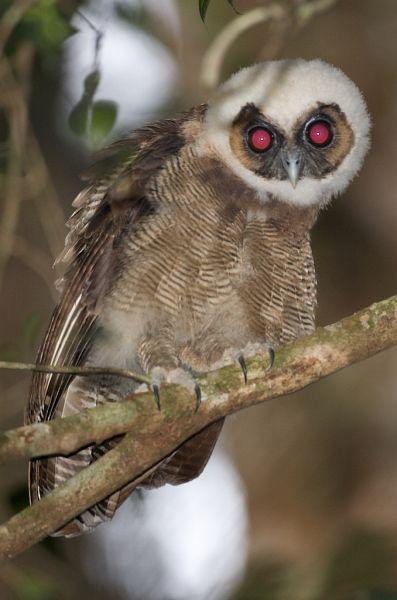 นกฮูกหรือนกเค้าแมว=Brown Wood Owl