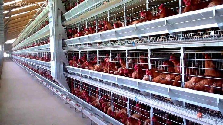 12 Unik desain kandang ayam jawa Canggih Kandang Ayam ...