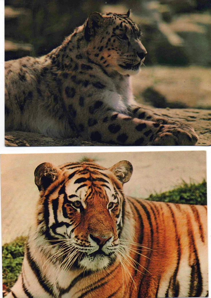 2 unused postcards of Wild Cats at Marwell Zoo, Winchester, England, Snow Leopard, Siberian Tiger, good shape by VintageNEJunk on Etsy