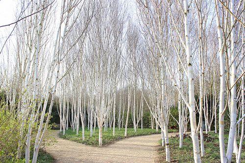 Björkar, vita stammar, björkskog. Anglesey Abbey _/////_