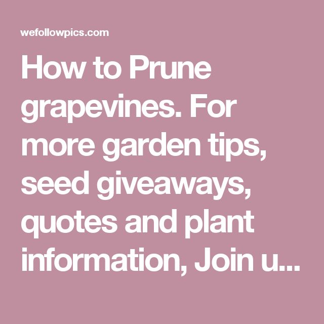 How to Prune grapevines. For more garden tips, seed giveaways, quotes and plant information, Join us on facebook.  www.facebook.com/... | WefollowPics