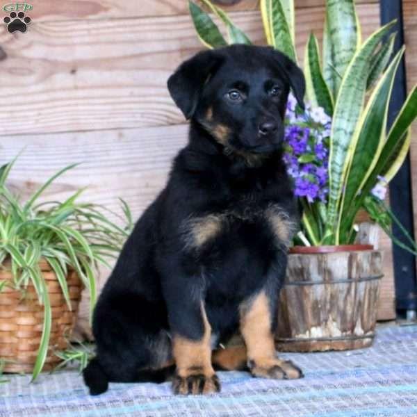 Bella German Shepherd Mix Puppy For Sale In Pennsylvania