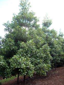 ELAEOCARPUS reticulatus PRIMA DONNA tm (Blueberry Ash) Australian Native Tree