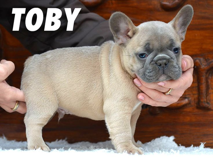 For sale: TOBY. Blue fawn French Bulldog boy (carry lilac). Price 2500 euro ($2900 usd).