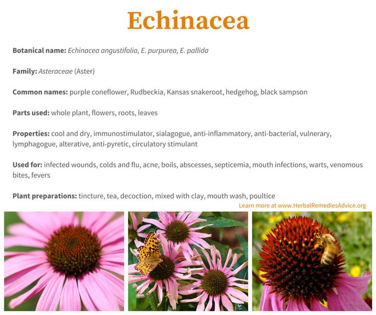 """Dr. Meyer popularized Echinacea through his rattlesnake exploits but he also claimed it could cure a wide range of ailments. Besides ameliorating the bites and stings of venomous creatures (including snakes, scorpions, spiders, bees, etc) he also used it for serious infections like typhoid and malarial fever, cholera, trichinosis, and what would later be known as strep. He used it for a variety of """"bad blood"""" conditions such as boils, carbuncles, acne, hemorrhoids, eczema and abscesses."""