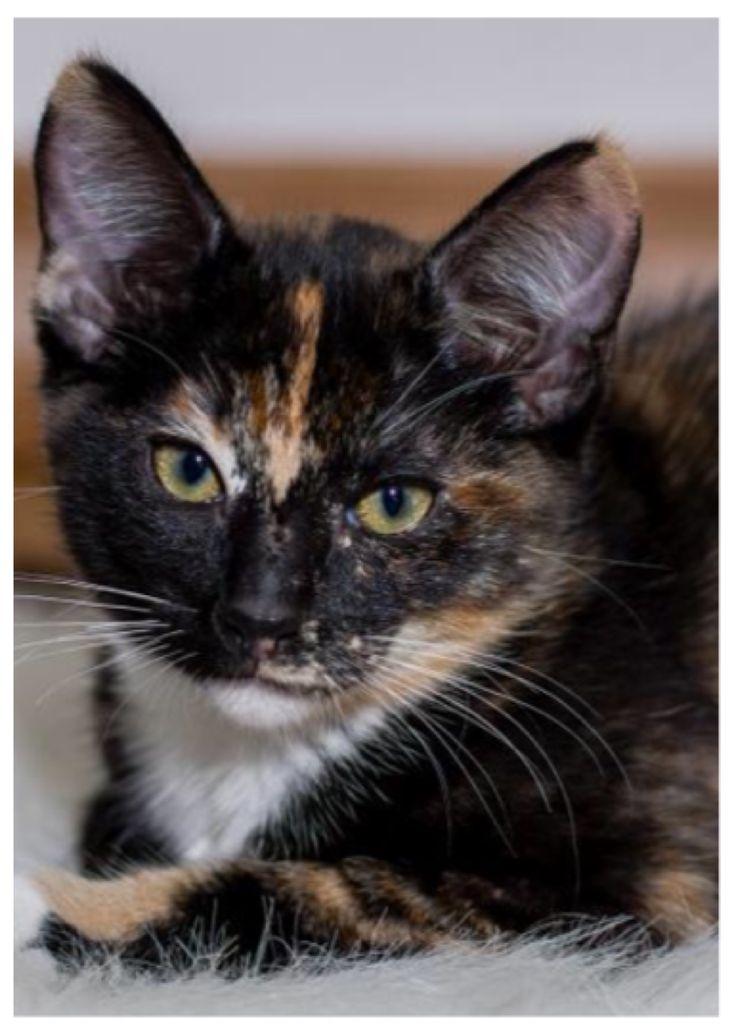 Cat Adoption Sf Ca