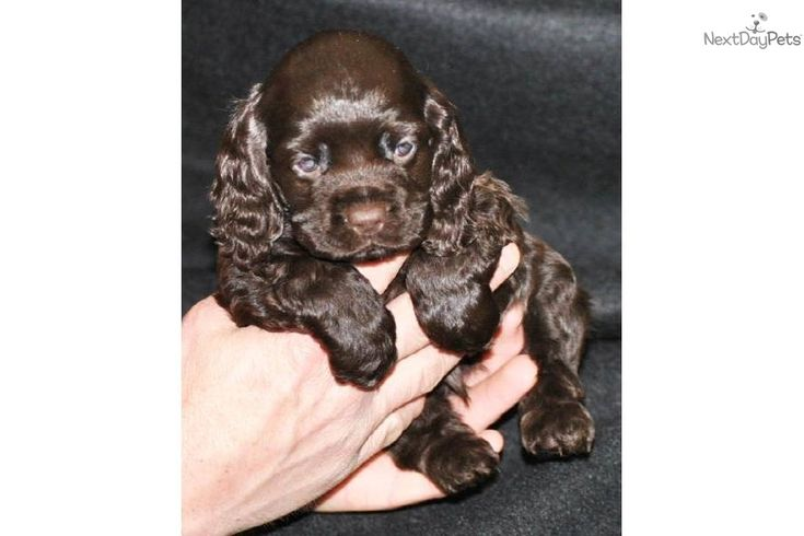 Chocolate Cocker Puppies For Sale | Cocker Spaniel Puppy for Sale: Lucy's Aqua Collar Boy - CHOCOLATE AKC ...