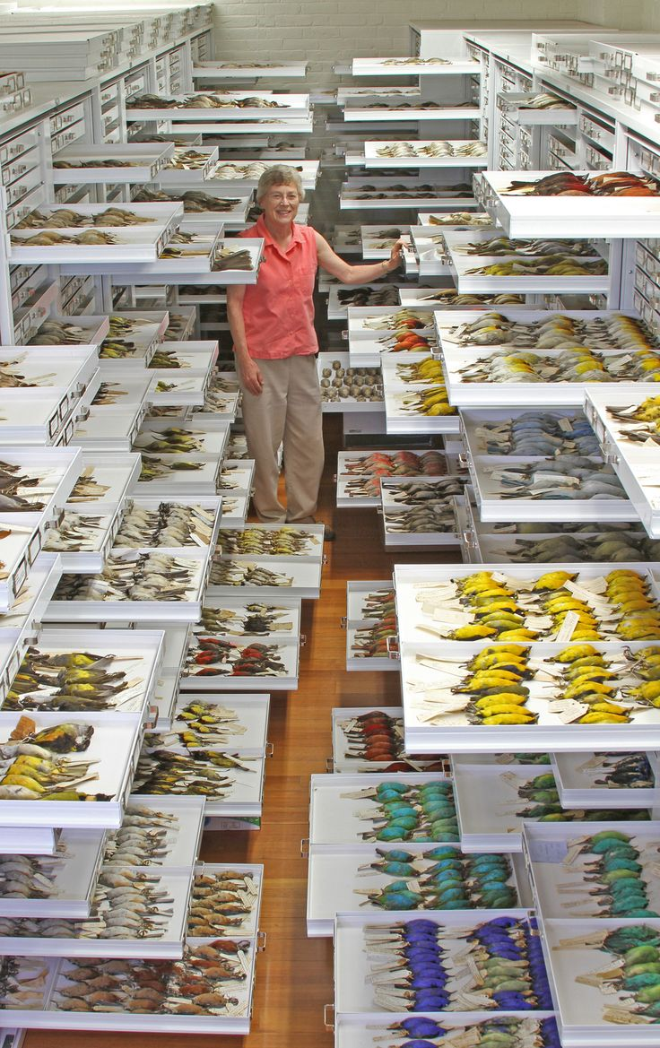 Natural history museum collections are tremendous repositories of specimens and data of many sorts, including phenotypes, tissue samples, vocal recordings, geographic distributions, parasites, and diet.  Photo by Jeremiah Trimble, Department of Ornithology, Museum of Comparative Zoology, Harvard University.
