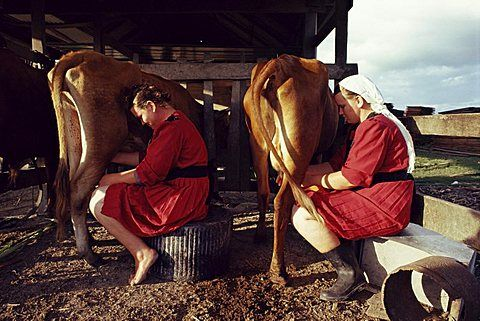 Traditional Mennonite girls miling cows, Camp 9, Shipyard, Belize, Central…