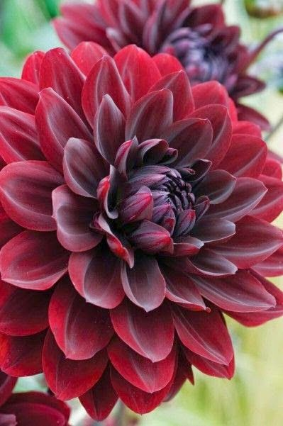 Dahlia Arabian Night...wow! I've always loved yellow Dahlias but this one is breathtaking!