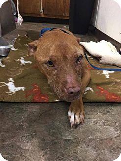 Whitestone, NY - mezcla americana de Staffordshire Terrier. Conoce a Clover, un perro para adopción