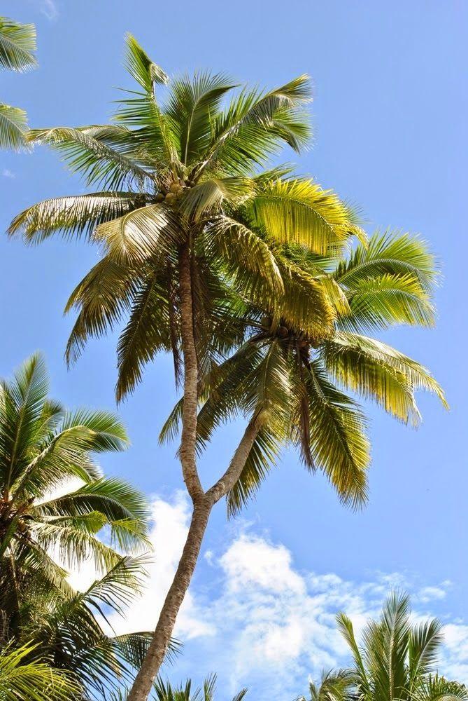 "Kelapa bercabang atau dalam bahasa konjo ""Kaluku pangkaiyya"" Pemilik pohon kelapa bercabang dua ini bernama ""Patta Lolo"" Menurut penjelasan dari beliau Ia bercerita bahwa pada tahun 1960-an kelapa ditanamnya saat masih berbentuk biji"