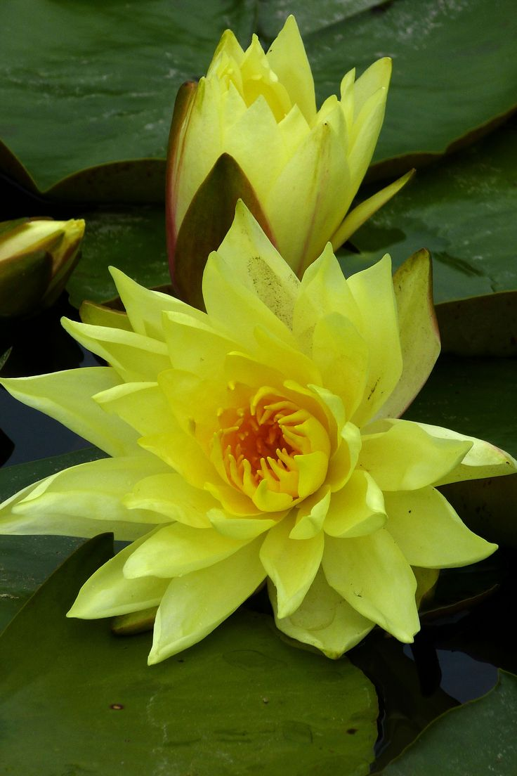 Yellow Water Lily | yellow water lilies | Oregon Garden | Pinterest