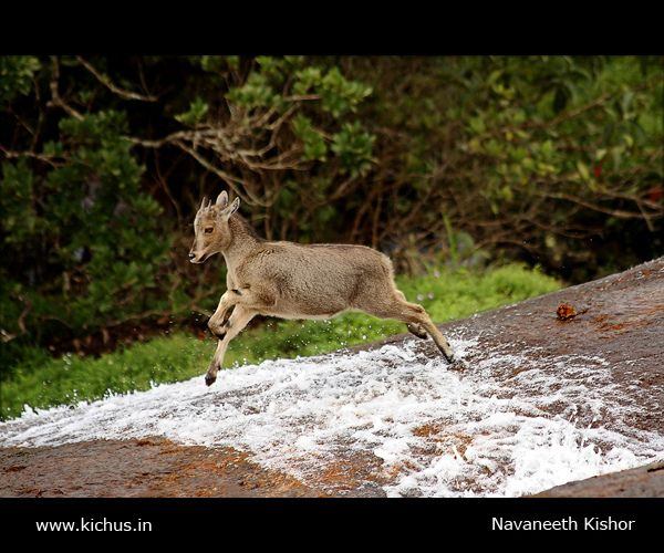 Nilgiri Tahr | Flickr - Photo Sharing!