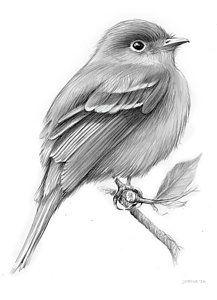 Drawing - Least Flycatcher by Greg Joens