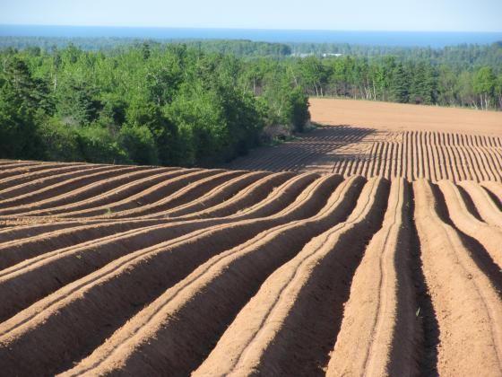 Potato field.queens county ,june 2012.