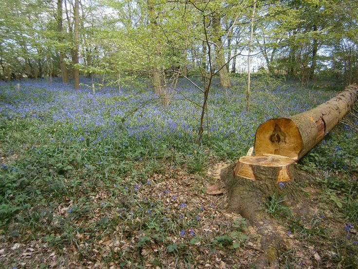 Bluebells at Hanningfield Reservoir, Essex