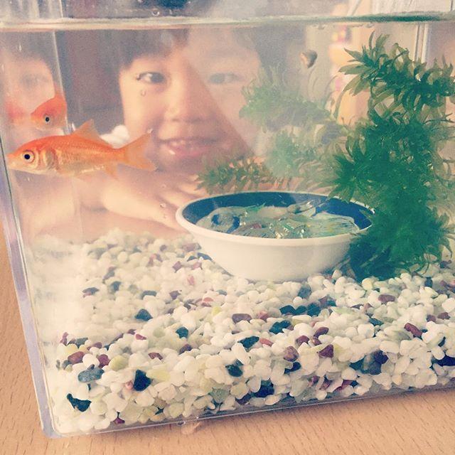【asamooomin】さんのInstagramをピンしています。 《. 金魚すくいでGETした金魚さん❤️ . #金魚#金魚さん#アクアリウム#癒し#砂利#水草#小皿#おはじき#いろいろ入れてみた#水換え》