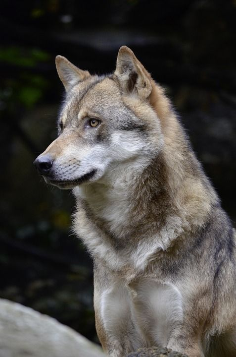 Loup, Face, Fourrure, Fermer, Animaux Sauvages