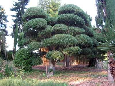 Formerly an ordinary Phillyrea latifolia which has been pruned to within an inch of its life to create this wonderful specimen by Architectural Plants. www.architecturalplants.com
