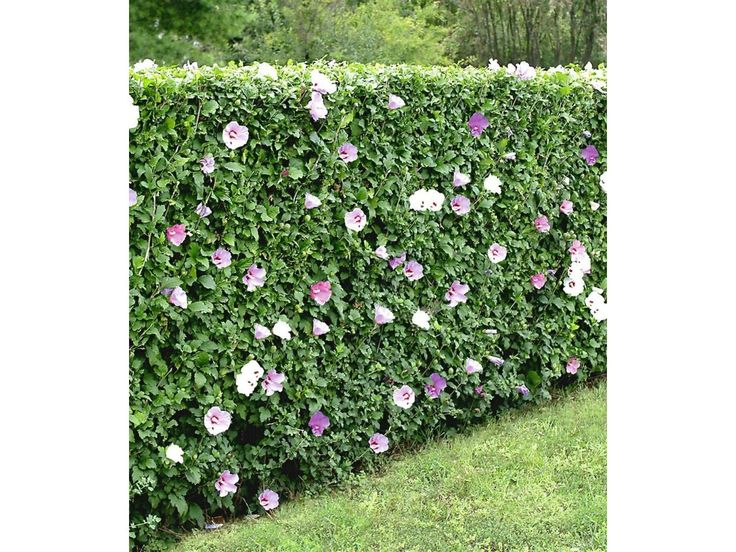 Winterharte Hibiskus-Hecke, 10 Pflanzen, Hibiscus Syriacus 1