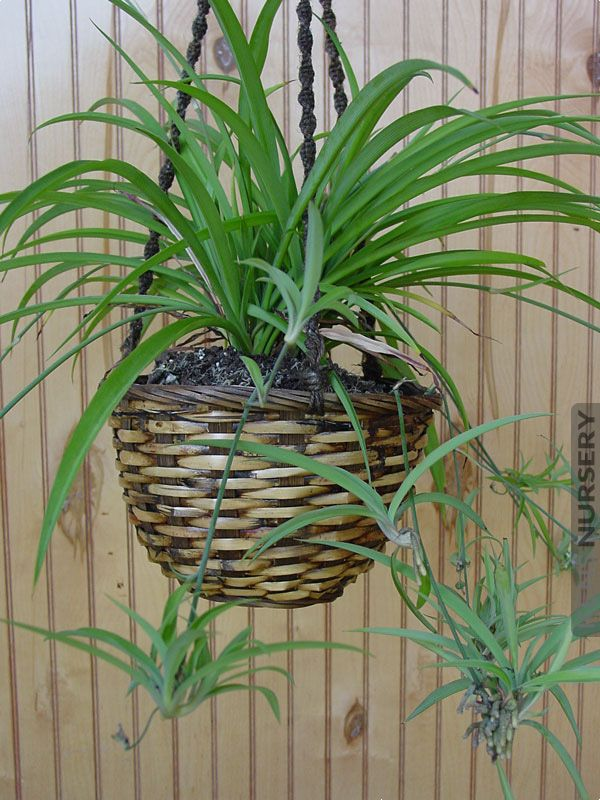 Heirloom Green Chlorophytum Spider Plant #CHL-COH