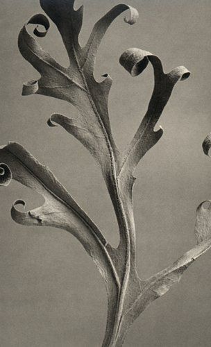 Asymmetrical can create order by Karl Blossfeldt #Proliferation