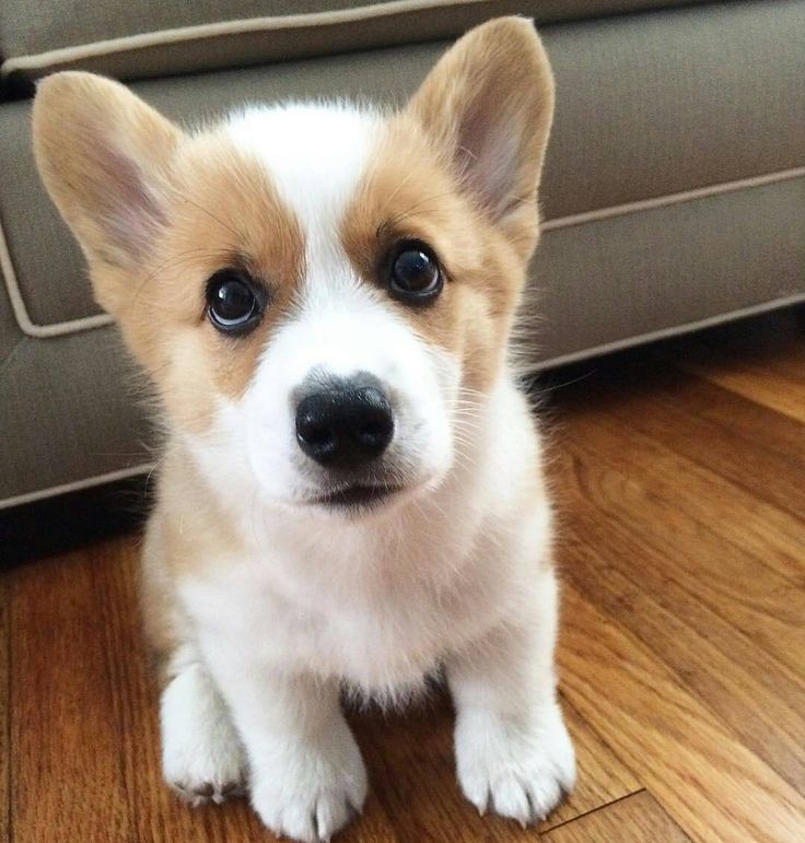 To be featuredFollow @corgiplanetUse tag #corgiplanet  Photo by @toro.the.corgi by corgiplanet