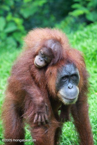 Mother orangutan carrying her baby near Gunung Leuser National Park in Morth Sumatra Read more at http://news.mongabay.com/2014/0819-orangutan-photos-world-orangutan-day.html#Vg4XgZ67k6UH3rCZ.99