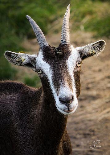 Portrait Of A Goat Ziege Goats Cute Goats Alpine Goats