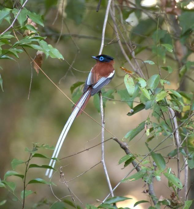 Picture of a paradise flycatcher.