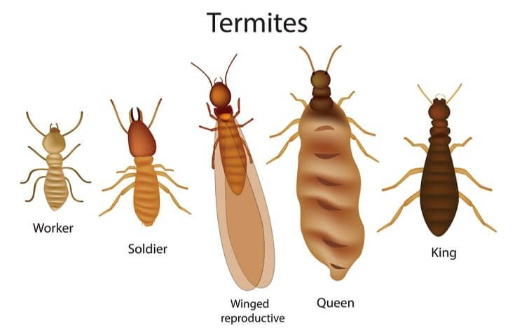 What Do Termites Look Like To The Human Eye See Pictures Of Termites Types Of Termites Termite Control Termites