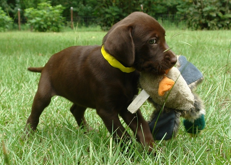 Puppy is gonna be a big hunting dog soon | Chocolate Labs ...