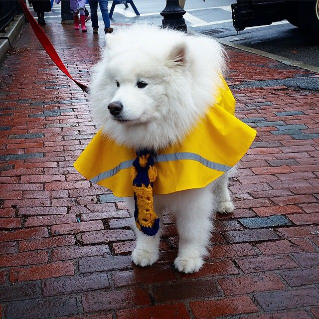 Harvard Dangerfield, the Boston SamoyedHarvard Dangerfield, the Most Famous Dog in Boston • When your fluff is too fluffy to fit under your...