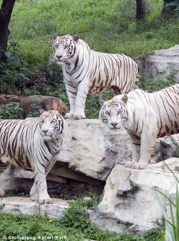 Un solo gen desvela el misterio del tigre blanco