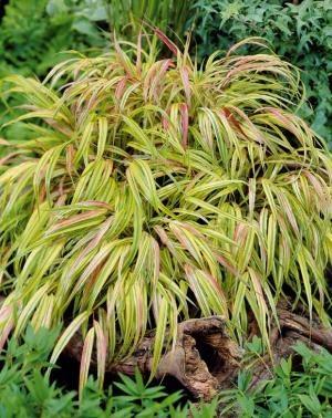 Herbe du japon dor e achat vente plantes vivaces en for Achat plantes jardin en ligne