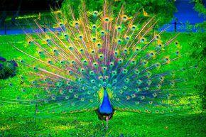 Gambar Burung Merak Yang Begitu Cantik