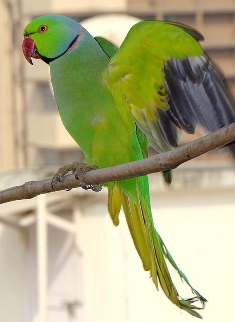 Rose ringed Parakeet. Bombay.ワカケホンセイインコ