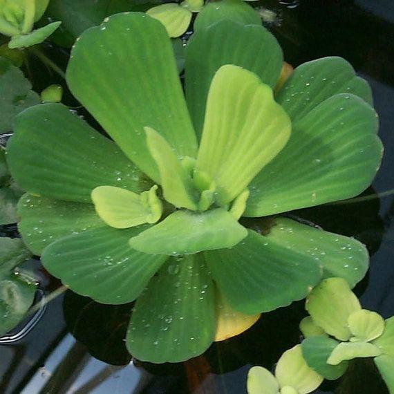Water Lettuce   Floating Live Pond Plants