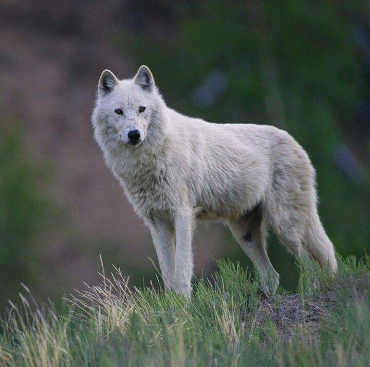 Картинки волк ночь тундра
