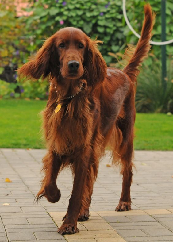 Irish Setter ~ My Setter's name was Rex (rescue) he was 110 lbs. at his best. House dog & wanna be lap dog.  He could retrieve 3 sticks thrown in the lake in one trip. Cancer got him over 10 years ago & I still think about & miss him.