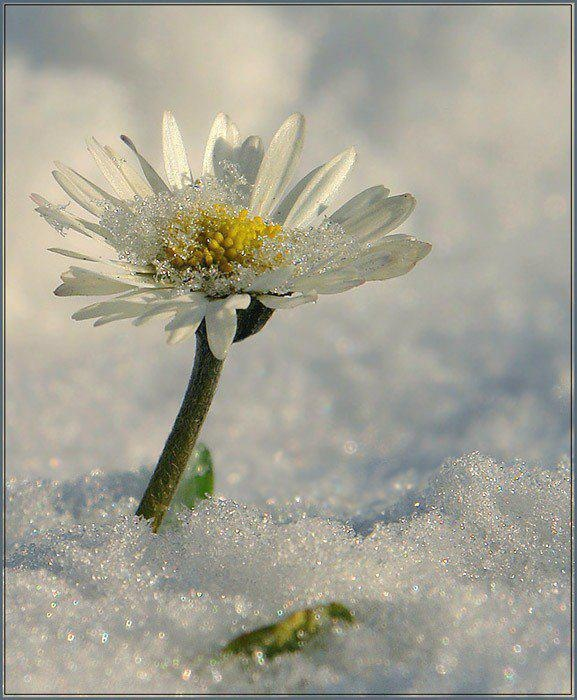 cold: Winter Pictures, Daisies Happy, Winter Wonderland, Amazing Nature, Suddenly Snow, Winter Gardens, Beautiful Nature, Favorite Flower