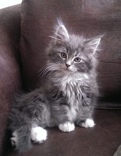 Fluffy White And Grey Cat 25+ best ideas ...