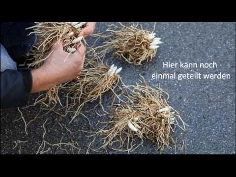 Das Teilen von winterharten Frauenschuh-Orchideen - YouTube